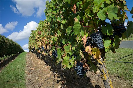 Vineyard, Saumur, Maine-et-Loire, Loire Valley, France, Europe Stock Photo - Rights-Managed, Code: 841-06499935