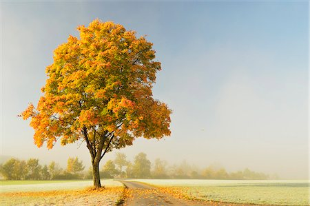Maple tree and morning fog in autumn, near Villingen-Schwenningen, Baden-Wurttemberg, Germany, Europe Stock Photo - Rights-Managed, Code: 841-06500591