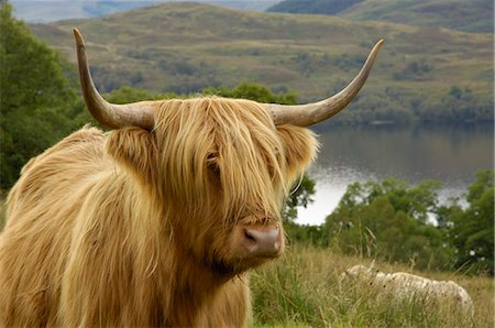furry - Highland cattle above Loch Katrine, Loch Lomond and Trossachs National Park, Stirling, Scotland, United Kingdom, Europe Stock Photo - Rights-Managed, Code: 841-06500665