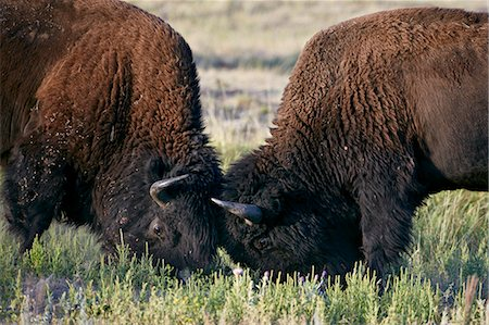 Bison (Bison bison) bulls sparring, Custer State Park, South Dakota, United States of America, North America Stock Photo - Rights-Managed, Code: 841-06500755