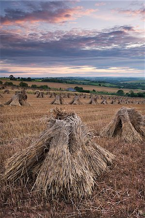 Wheat for thatching harvested in traditional stooks, Devon, England, United Kingdom, Europe Stock Photo - Rights-Managed, Code: 841-06501327