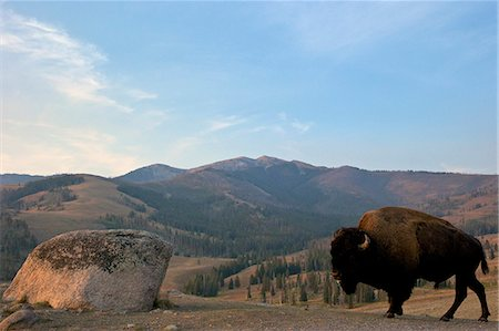 Bison and Mount Washburn in early morning light, Yellowstone National Park, UNESCO World Heritage Site, Wyoming, United States of America, North America Stock Photo - Rights-Managed, Code: 841-06502699
