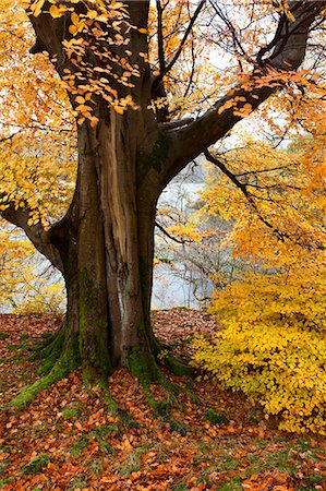 fall trees lake - Autumn trees by Ullswater near Glenridding, Lake District National Park, Cumbria, England, United Kingdom, Europe Stock Photo - Rights-Managed, Code: 841-06503053