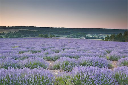france - Lavender fields near to Sault, Vaucluse, Provence, France, Europe Stock Photo - Rights-Managed, Code: 841-06503212