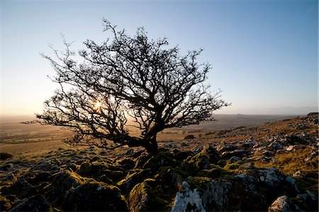 dartmoor national park - Stunted tree on Dartmoor, Devon, England, United Kingdom, Europe Stock Photo - Rights-Managed, Code: 841-06616350