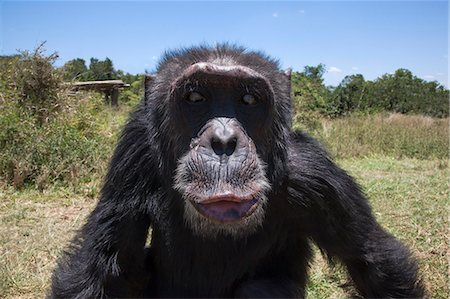 Orphaned or abused chimpanzees (Pan troglodytes) from West and Central Africa at the Sweetwaters Chimpanzee Sanctuary, Ol Pejeta Conservancy, Laikipia, Kenya, East Africa, Africa Stock Photo - Rights-Managed, Code: 841-06616454