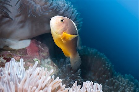 southeast asian - Anemonefish (Amphiprion ocellaris) and sea anemone, Southern Thailand, Andaman Sea, Indian Ocean, Southeast Asia, Asia Stock Photo - Rights-Managed, Code: 841-06617081