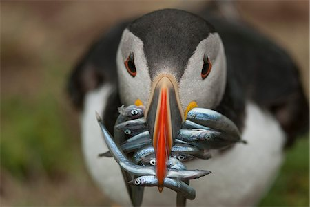 Puffin with sand eels in beak, Wales, United Kingdom, Europe Stock Photo - Rights-Managed, Code: 841-06804529