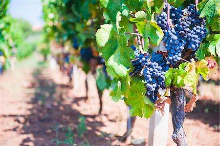 Grapes on a vine in a vineyard, Lumbarda, Korcula Island, Dalmatian Coast, Croatia, Europe Stock Photo - Rights-Managed, Code: 841-06804773
