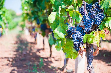 Grapes on a vine in a vineyard, Lumbarda, Korcula Island, Dalmatian Coast, Croatia, Europe Stock Photo - Rights-Managed, Code: 841-06804773