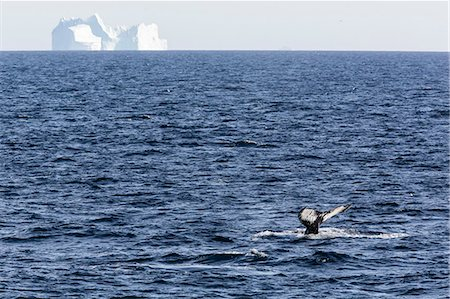 Humpback whale (Megaptera novaeangliae), Vikingbukta, Northeast Greenland, Polar Regions Stock Photo - Rights-Managed, Code: 841-06804881