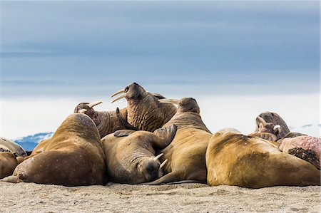 Adult walrus (Odobenus rosmarus rosmarus), Torrelneset, Nordauslandet Island, Svalbard Archipelago, Norway, Scandinavia, Europe Stock Photo - Rights-Managed, Code: 841-06805187
