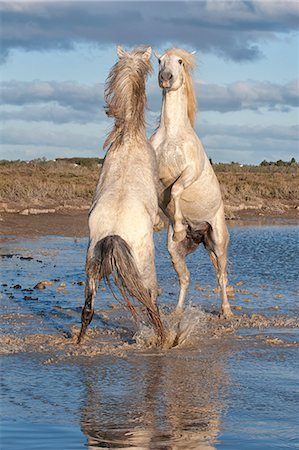 french - Camargue horses, stallions fighting in the water, Bouches du Rhone, Provence, France, Europe Stock Photo - Rights-Managed, Code: 841-06805373