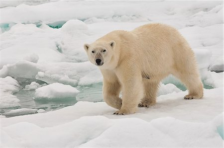 Female polar bear (Ursus maritimus), Svalbard Archipelago, Barents Sea, Norway, Scandinavia, Europe Stock Photo - Rights-Managed, Code: 841-06805437