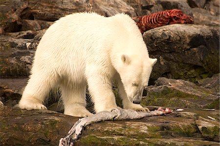 Polar bear feeding on a seal carcass, Button Islands, Labrador, Canada, North America Stock Photo - Rights-Managed, Code: 841-06805432