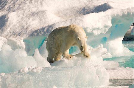 Polar bear on floating ice, Davis Strait, Labrador See, Labrador, Canada, North America Stock Photo - Rights-Managed, Code: 841-06805433