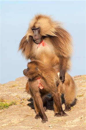 Mating Gelada baboons (Theropithecus Gelada), Simien Mountains National Park, Amhara region, North Ethiopia, Africa Stock Photo - Rights-Managed, Code: 841-06805448