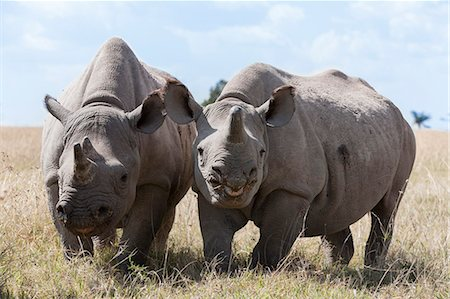 Two rhinoceros, Ol Pejeta Conservancy, Laikipia, Kenya, East Africa, Africa Stock Photo - Rights-Managed, Code: 841-06806092