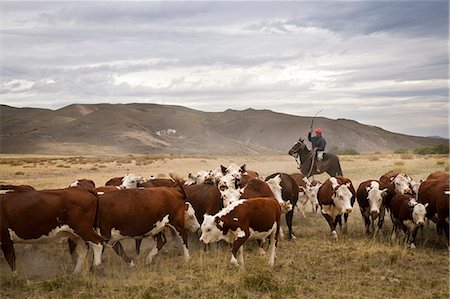 Gauchos with cattle at the Huechahue Estancia, Patagonia, Argentina, South America Stock Photo - Rights-Managed, Code: 841-06806262