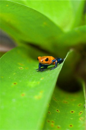 poison - Poison Dart Frog, named due it excreting a poison that paralyses - used on native arrows; Arenal, Alajuela Province, Costa Rica Stock Photo - Rights-Managed, Code: 841-06807442