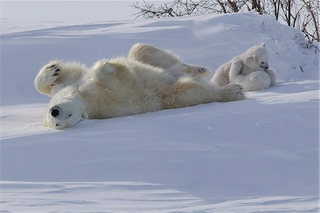 roll (people and animals rolling around) - Polar bear (Ursus maritimus) and cubs, Wapusk National Park, Churchill, Hudson Bay, Manitoba, Canada, North America Stock Photo - Rights-Managed, Code: 841-06808014
