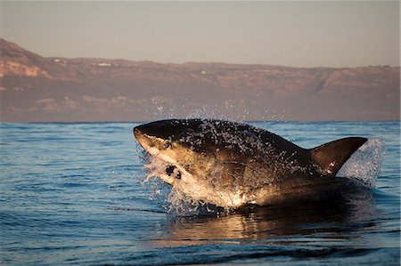 Great white shark (Carcharodon carcharias), Seal Island, False Bay, Simonstown, Western Cape, South Africa, Africa Foto de stock - Con derechos protegidos, Código: 841-07084389