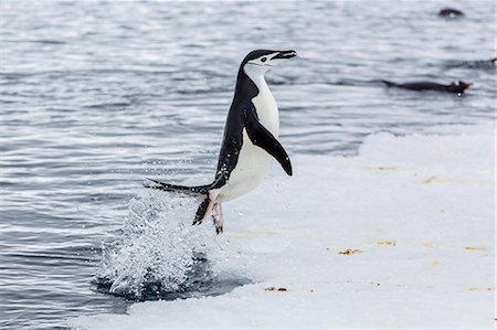 Adult chinstrap penguin (Pygoscelis antarctica), Port Lockroy, Antarctica, Southern Ocean, Polar Regions Stock Photo - Rights-Managed, Code: 841-07080737