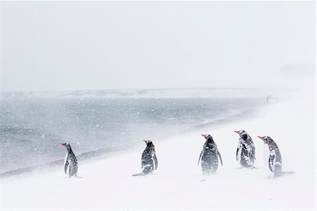 five animals - Adult gentoo penguins (Pygoscelis papua) in snow storm, Port Foster, Deception Island, Antarctica, Southern Ocean, Polar Regions Stock Photo - Rights-Managed, Code: 841-07080744