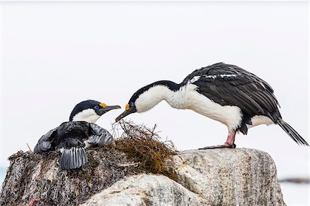 Adult Antarctic shags (Phalacrocorax (atriceps) bransfieldensis), breeding colony on Jougla Point, Weincke Island, Antarctica, Polar Regions Stock Photo - Rights-Managed, Code: 841-07080741