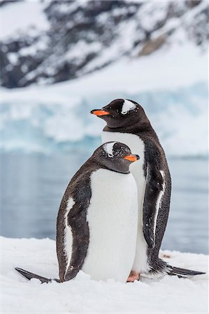 Adult gentoo penguins (Pygoscelis papua), Neko Harbor, Antarctica, Southern Ocean, Polar Regions Stock Photo - Rights-Managed, Code: 841-07080751