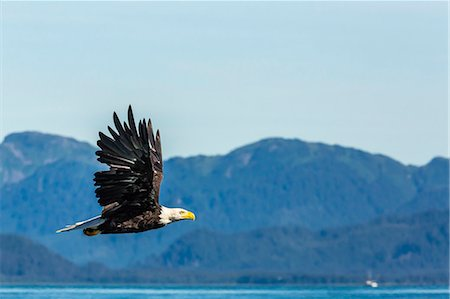 Adult bald eagle (Haliaeetus leucocephalus), Inian Pass, Southeast Alaska, United States of America, North America Stock Photo - Rights-Managed, Code: 841-07080837