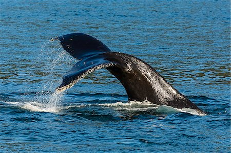 Adult humpback whale (Megaptera novaeangliae) flukes-up dive, Snow Pass, Southeast Alaska, United States of America, North America Stock Photo - Rights-Managed, Code: 841-07080852