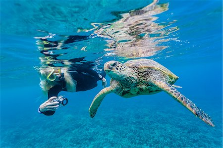 discovery - Green sea turtle (Chelonia mydas) underwater with snorkeler, Maui, Hawaii, United States of America, Pacific Stock Photo - Rights-Managed, Code: 841-07080879