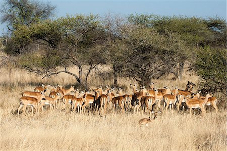 Impala (Aepyceros melampus), Chief Island, Moremi Game Reserve, Okavango Delta, Botswana, Africa Stock Photo - Rights-Managed, Code: 841-07082387