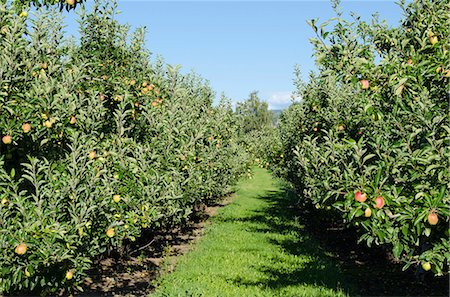 Apple orchard, Kelowna, British Columbia, Canada, North America Stock Photo - Rights-Managed, Code: 841-07082777