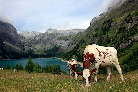 Cows grazing in the meadow above Rawyl reservoir, Valais region, Swiss Alps, western Switzerland, Europe Stock Photo - Rights-Managed, Code: 841-07083070