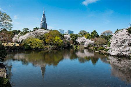Cherry blossom in the Shinjuku-Gyoen Park, Tokyo, Japan, Asia Stock Photo - Rights-Managed, Code: 841-07083644