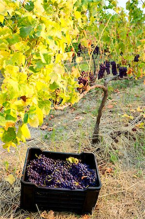 Crate of picked grapes in vineyard during autumn harvest, Remhoogte Winery Estate, Stellenbosch, Western Cape, South Africa, Africa Stock Photo - Rights-Managed, Code: 841-07083881