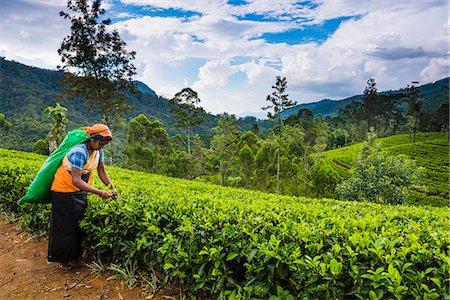 farmhand (female) - Tea picker in a tea plantation in the Hill Country, Sri Lanka's Central Highlands, Nuwara Eliya District of Sri Lanka, Asia Stock Photo - Rights-Managed, Code: 841-07204251