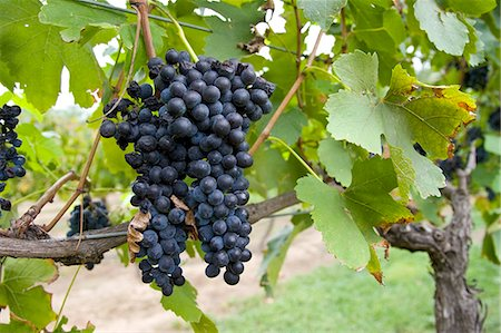 Shiraz Grapes growing in the Pepper Tree Winery, Hunter Valley, Australia Stock Photo - Rights-Managed, Code: 841-07204887
