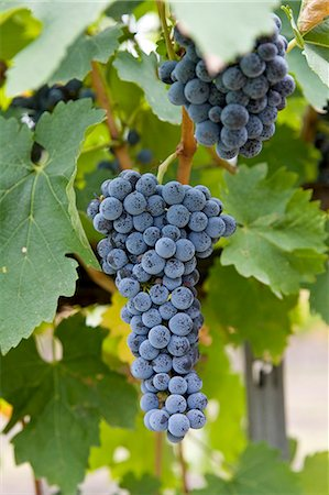 Cabernet Sauvignon grapes grow in the Pepper Tree Winery, Hunter Valley, Australia Stock Photo - Rights-Managed, Code: 841-07204891