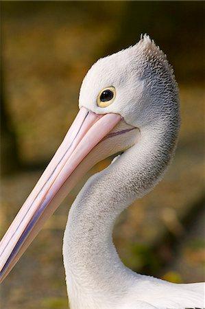Australian Pelican, Queensland, Australia Stock Photo - Rights-Managed, Code: 841-07204957