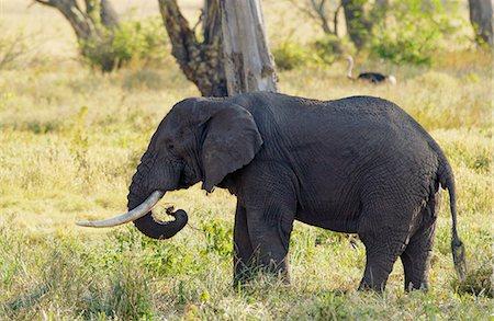 Elephant feeding in Ngorongoro Crater, Tanzania Stock Photo - Rights-Managed, Code: 841-07204973
