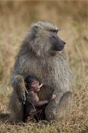 Olive baboon (Papio cynocephalus anubis) nursing, Serengeti National Park, Tanzania, East Africa, Africa Stock Photo - Rights-Managed, Code: 841-07205509