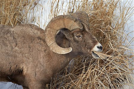 ram (animal) - Bighorn sheep (Ovis canadensis) ram eating in the winter, Yellowstone National Park, Wyoming, United States of America, North America Stock Photo - Rights-Managed, Code: 841-07205500