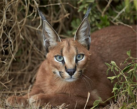 pictures cats - Caracal (Caracal caracal), Addo Elephant National Park, South Africa, Africa Stock Photo - Rights-Managed, Code: 841-07205523