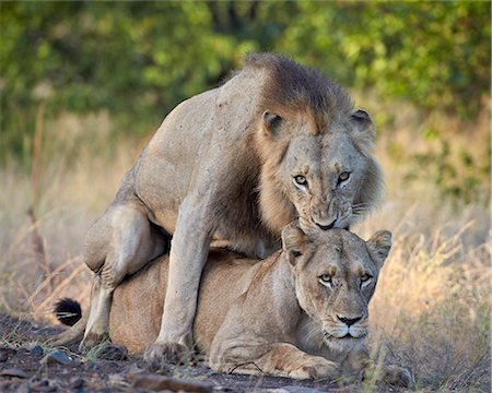 Lion (Panthera leo) pair mating, Kruger National Park, South Africa, Africa Stock Photo - Rights-Managed, Code: 841-07205538