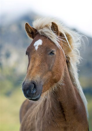 Wild horse, Iceland, Polar Regions Stock Photo - Rights-Managed, Code: 841-07206425
