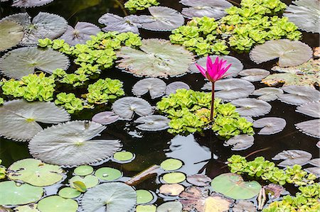 Water-lilies, Nymphaea spp, in Phnom Penh, along the Mekong River, Cambodia, Indochina, Southeast Asia, Asia Stock Photo - Rights-Managed, Code: 841-07457078