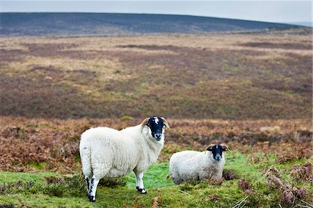 ram (animal) - Blackfaced sheep in Dartmoor countryside, Devon,  United Kingdom Stock Photo - Rights-Managed, Code: 841-07457290